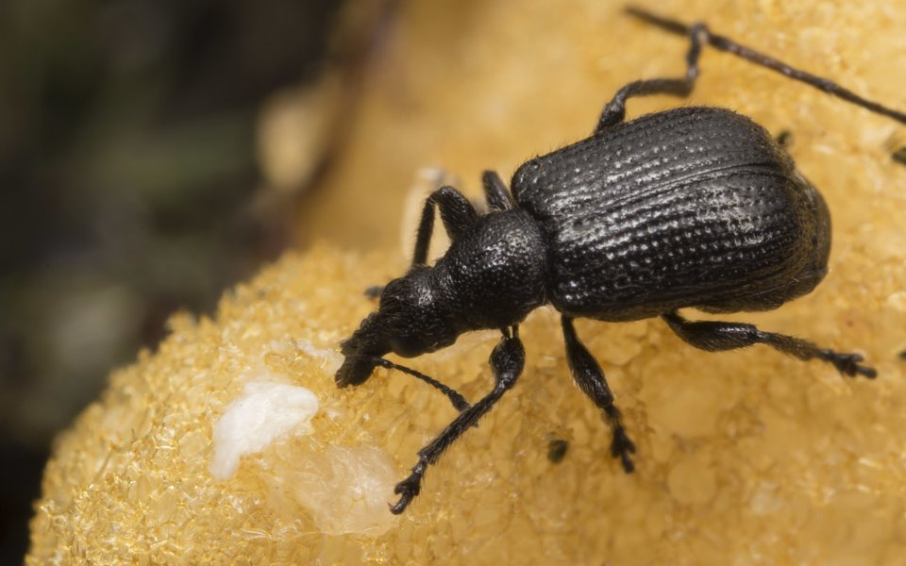 Rhynchitidae-3126.jpg