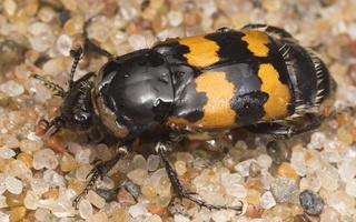 Nicrophorus vespillo · paprastasis duobkasys