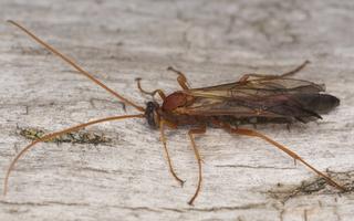 Ichneumonidae · vytis
