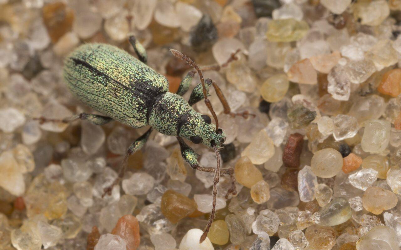 Curculionidae-3187.jpg