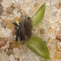 Cassida rubiginosa · varnalėšinis skydinukas