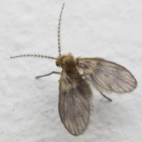 Psychodidae · kandinis uodelis