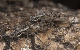 Rhagium inquisitor mating · briaunotasis ragijus poruojasi