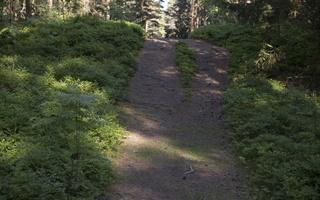 Juodkrantė · miško takelis 3315