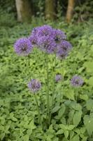 Allium aflatunense · kirgizinis česnakas