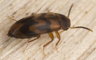 Melandryidae · niūravabaliai