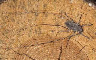Acanthocinus aedilis male · ilgaūsis pušiagraužis ♂