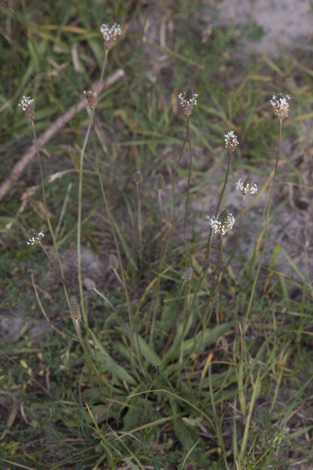 Plantago-lanceolata-3410.jpg