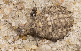 Myrmeleon formicarius larva · paprastasis skruzdžių liūtas, lerva