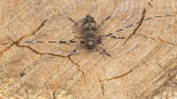 Acanthocinus griseus male · mažasis pušiagraužis ♂
