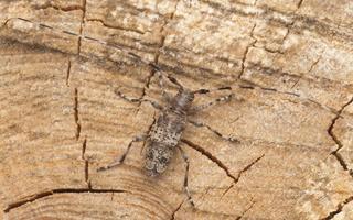 Acanthocinus griseus · mažasis pušiagraužis