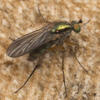 Dolichopus sp. · ilgakojė muselė
