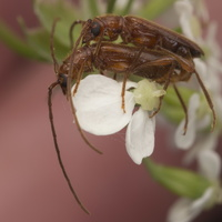 Obrium brunneum mating · eglinis rusvūnas poruojasi