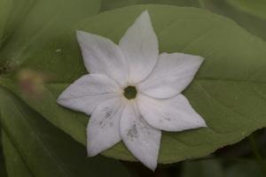 Trientalis europaea, petals · miškinė septynikė, nukritę žiedlapiai