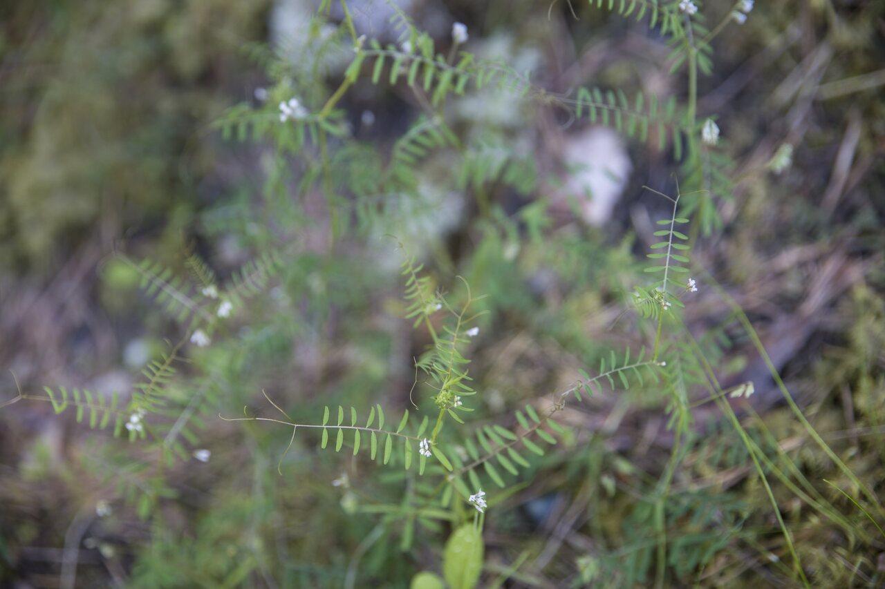 Fabaceae-3558.jpg