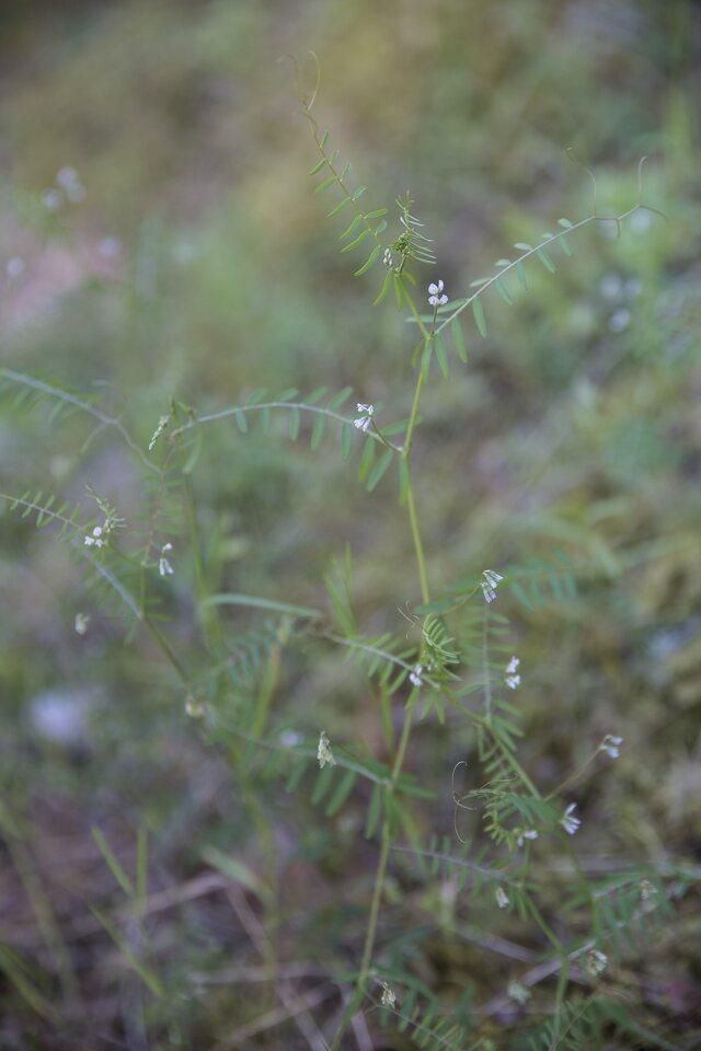 Fabaceae-3559.jpg