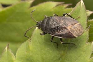 Drymus sylvaticus · miškinė dirvablakė 2498
