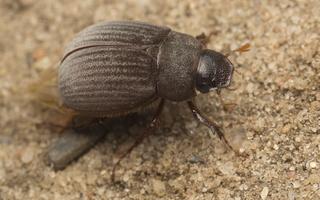 Maladera holosericea · juosvasis grambuoliukas