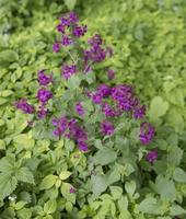 Lunaria annua · darželinė blizgė