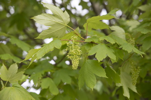 Acer pseudoplatanus flowering · platanalapis klevas žydi