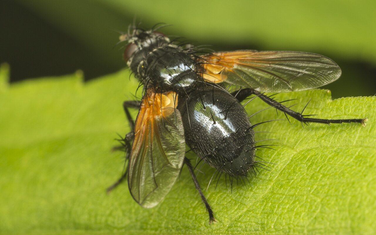 Zophomyia-temula-3768.jpg