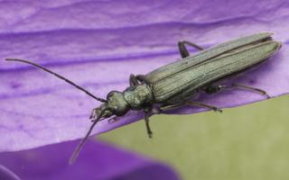Oedemeridae  · laibavabalis