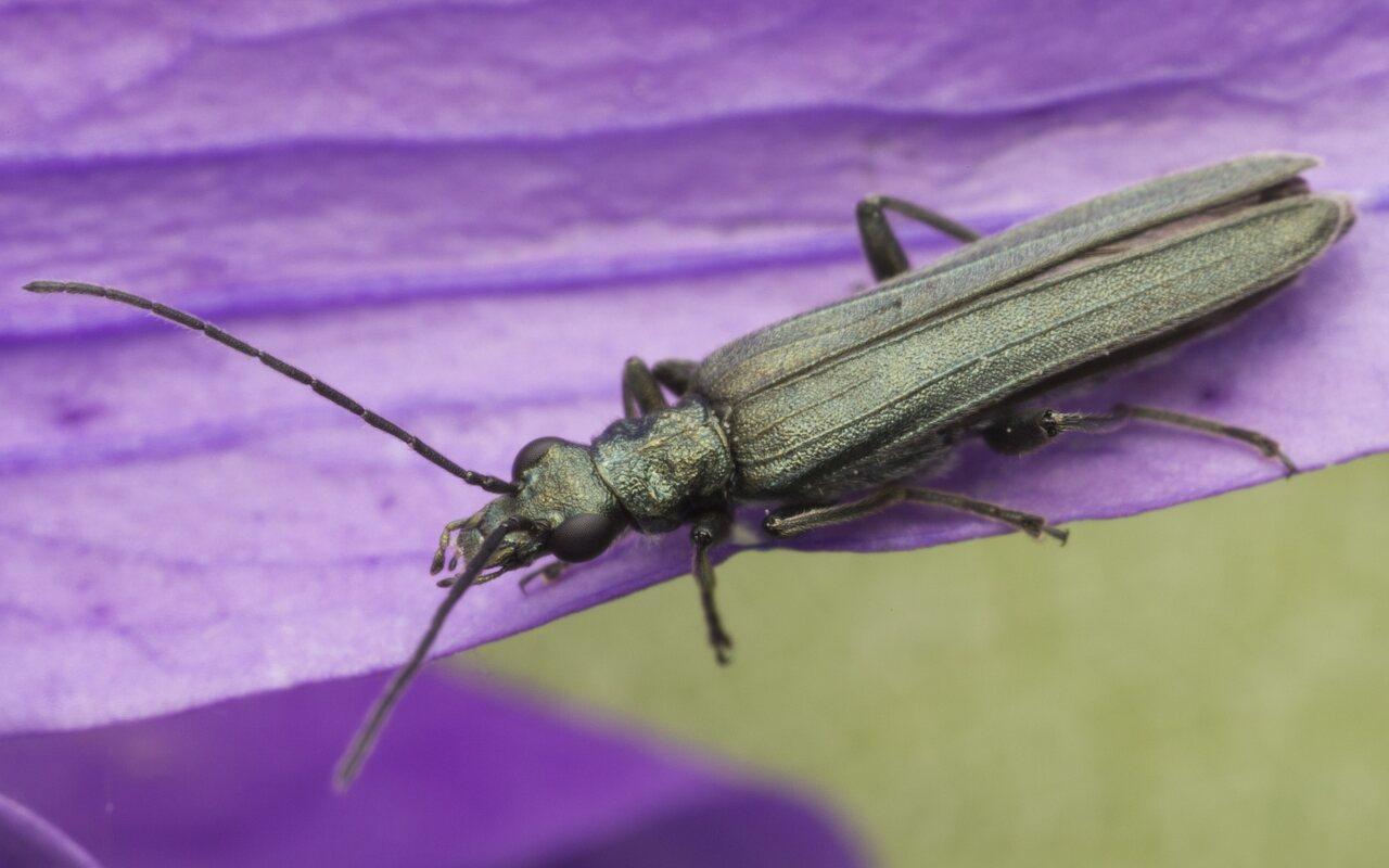 Oedemeridae-3772.jpg