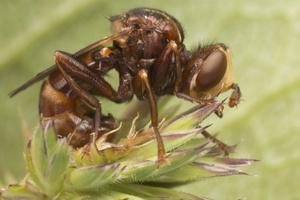 Sicus ferrugineus · lenktapilvė musė