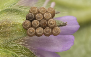 Heteroptera eggs 3775