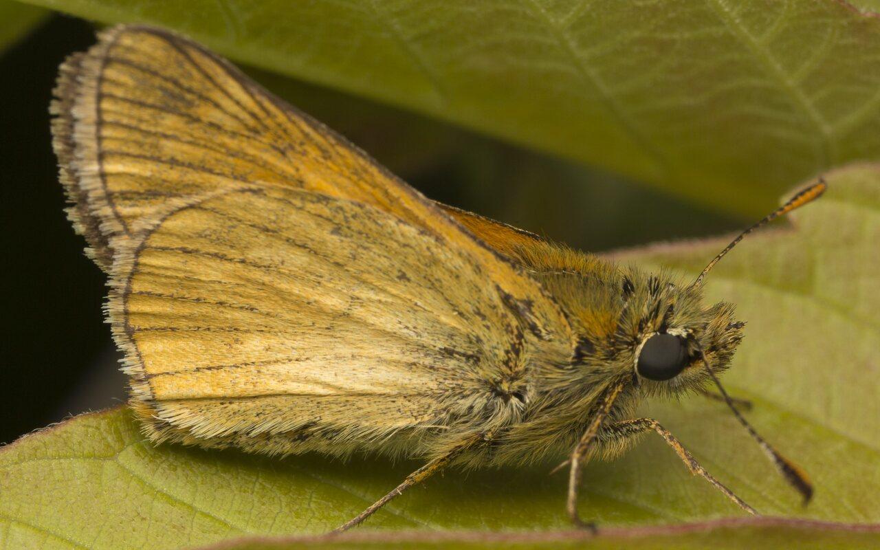 Hesperiidae-3776.jpg