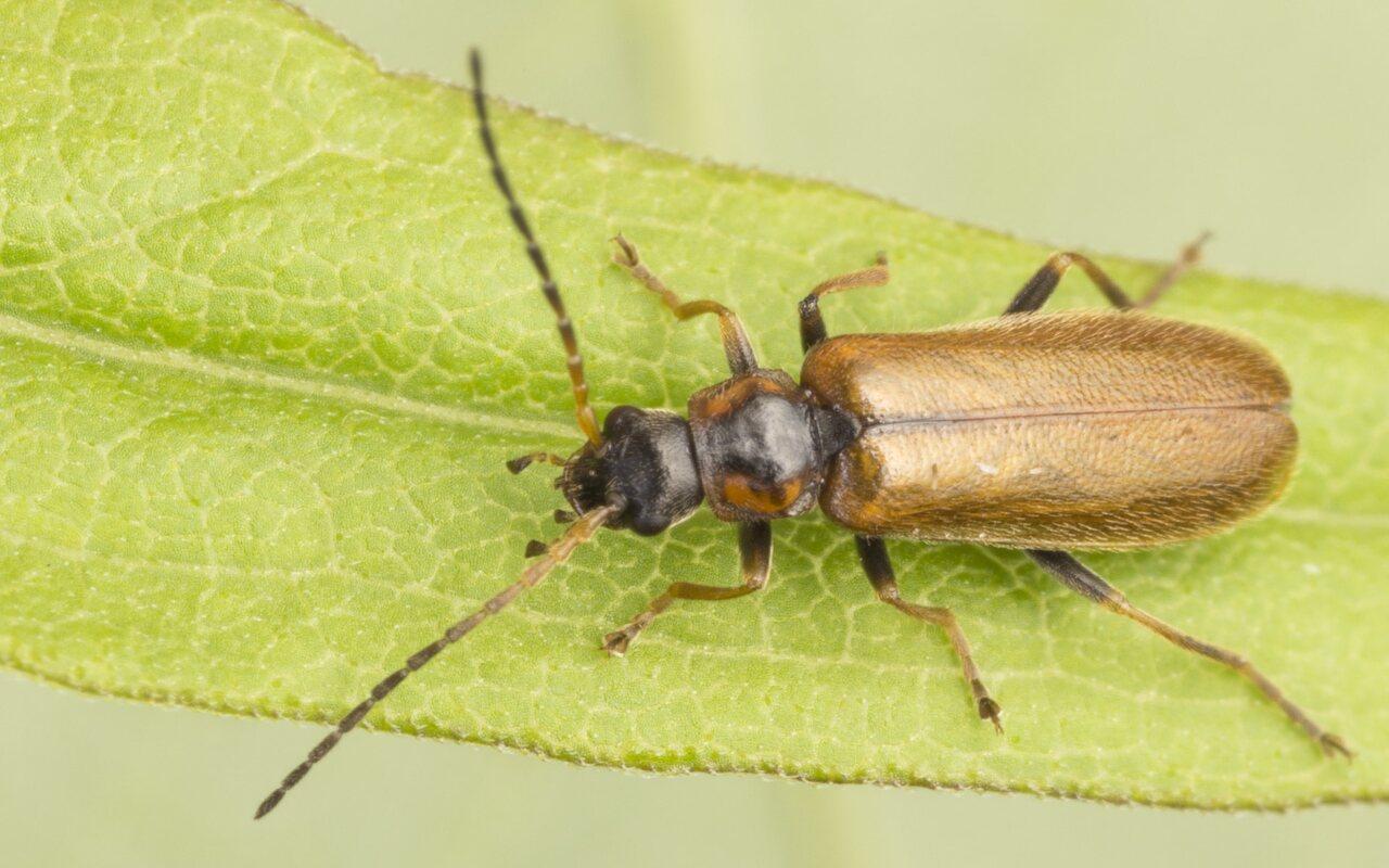 Cantharidae-3784.jpg