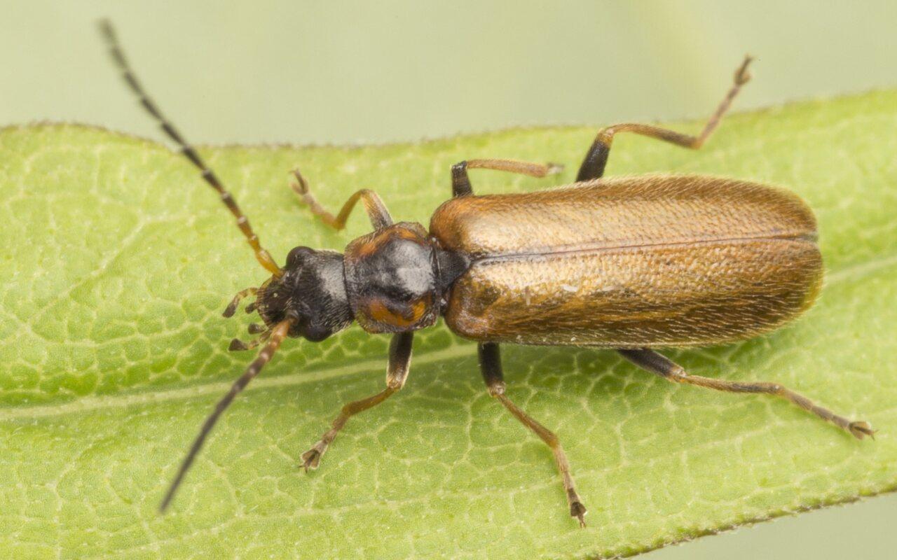 Cantharidae-3785.jpg