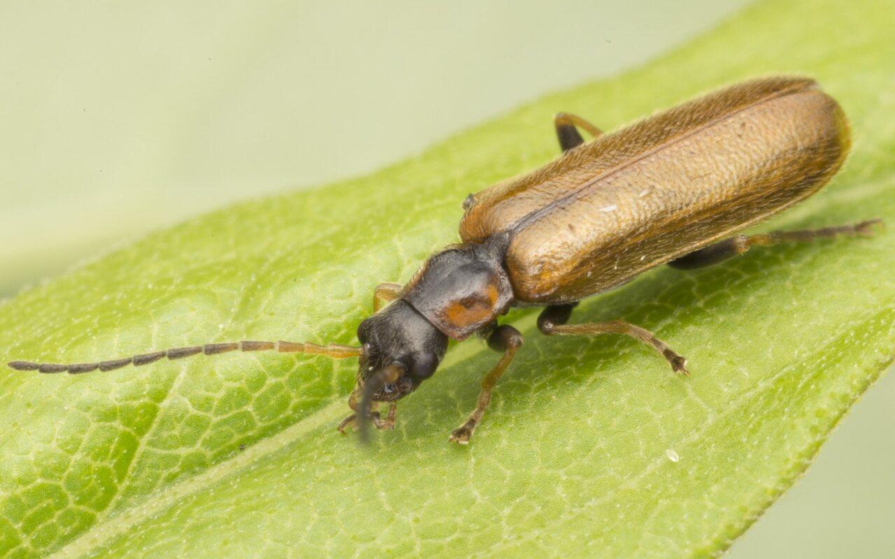 Cantharidae-3786.jpg