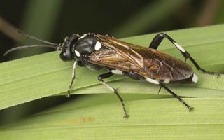 Macrophya duodecimpunctata · pjūklelis