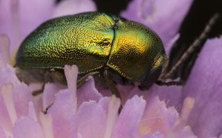 Cryptocephalus sericeus · žaliasis paslėptagalvis