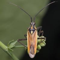 Leptopterna dolabrata male · painioji žolblakė ♂