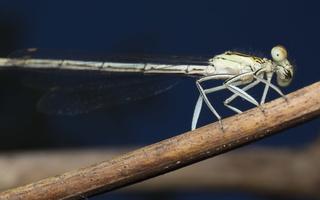 Platycnemis pennipes female · baltakojė strėliukė ♀