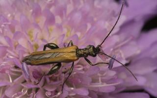 Oedemera femorata male · laibavabalis ♂
