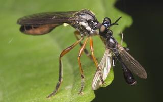 Dioctria hyalipennis female · plėšriamusė ♀