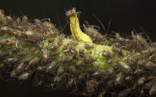 Syrphidae larva feeding on aphids 3840