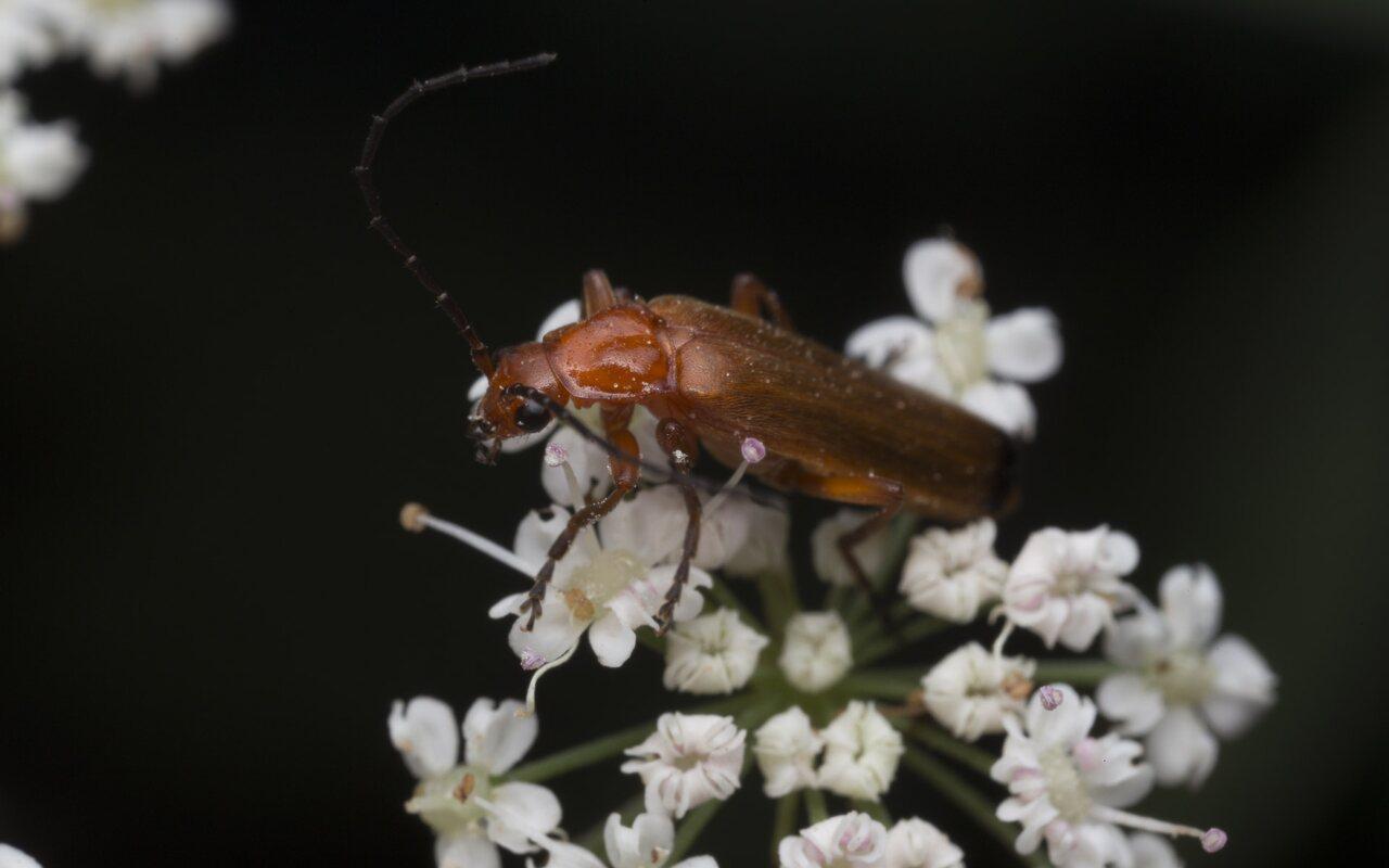 Cantharidae-3843.jpg
