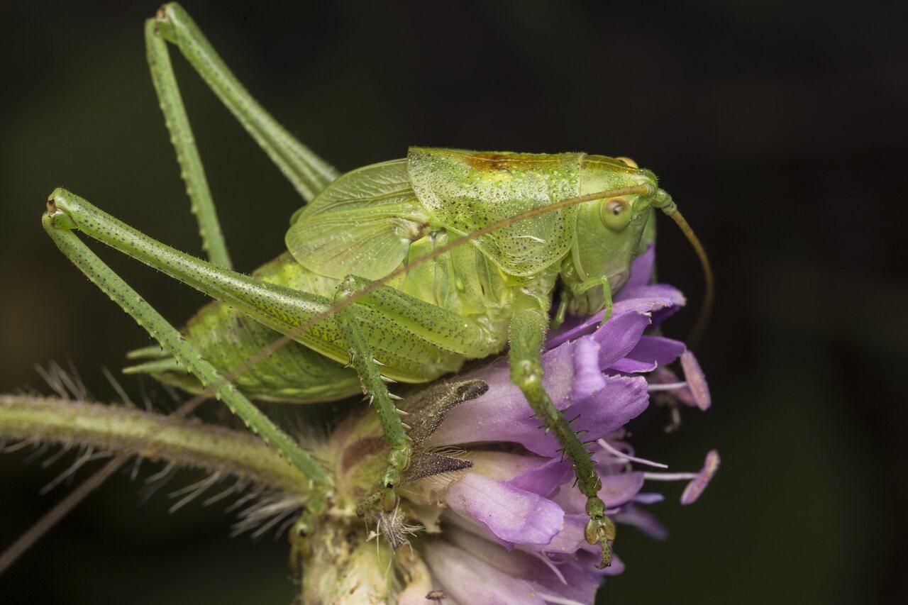Orthoptera-3849.jpg