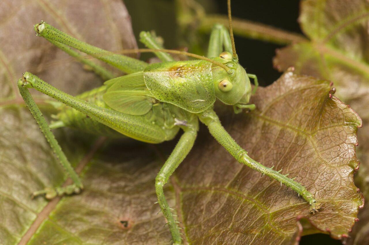 Orthoptera-3850.jpg