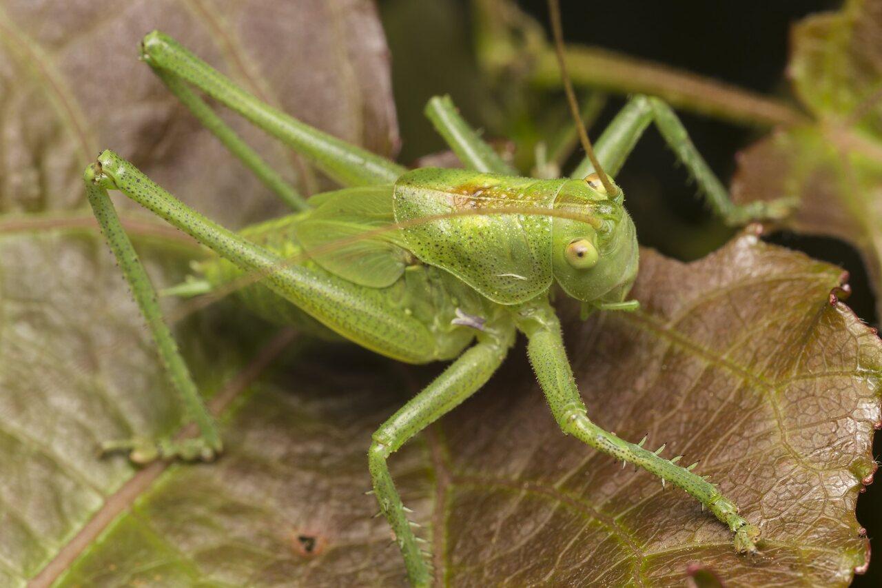 Orthoptera-3851.jpg