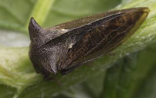 Centrotus cornutus · paprastoji kuprotoji cikada