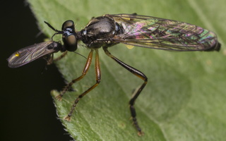 Dioctria hyalipennis · plėšriamusė