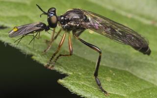 Dioctria hyalipennis male · plėšriamusė ♂