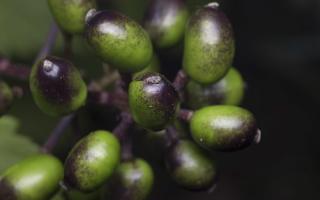 Actaea spicata · varpotoji juodžolė