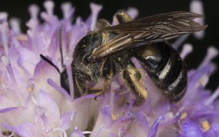 Apidae · bitės