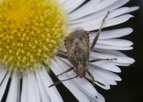 Stictopleurus punctatonervosus · ryškiapilvė kampuotblakė